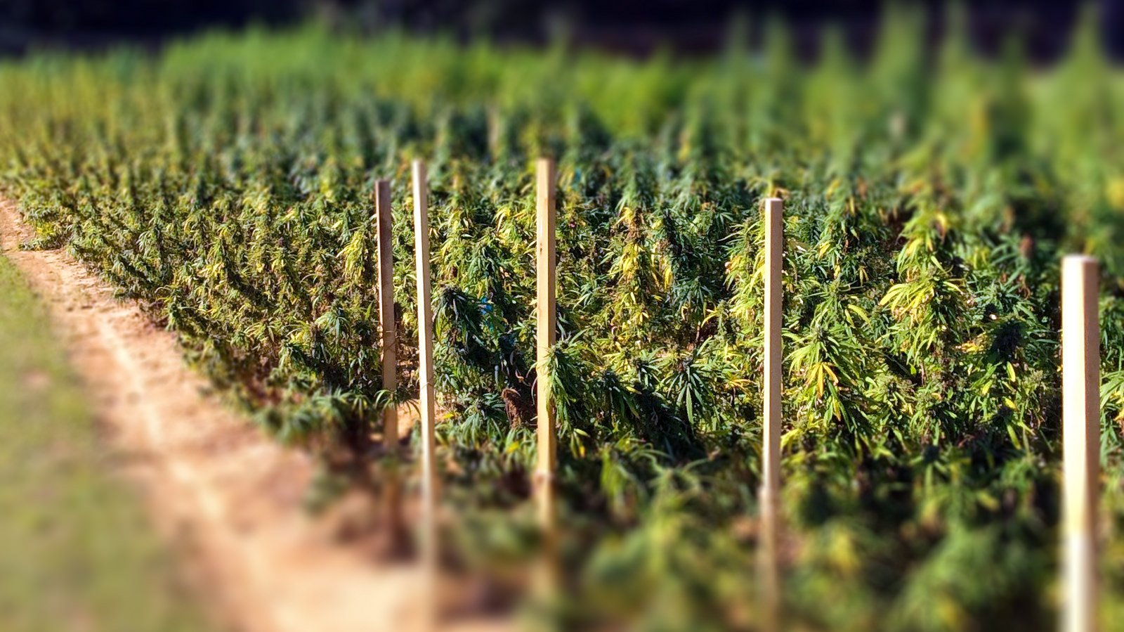 A field of industrial cannabis plants